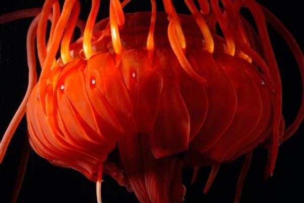 Quanto possono diventare grandi le meduse?