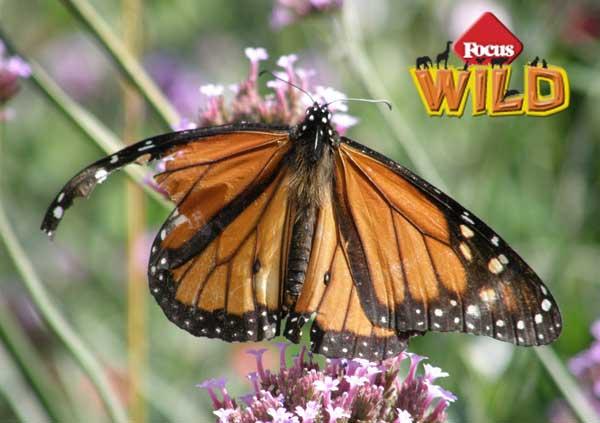 Focus Wild | Come riparare l'ala a una farfalla