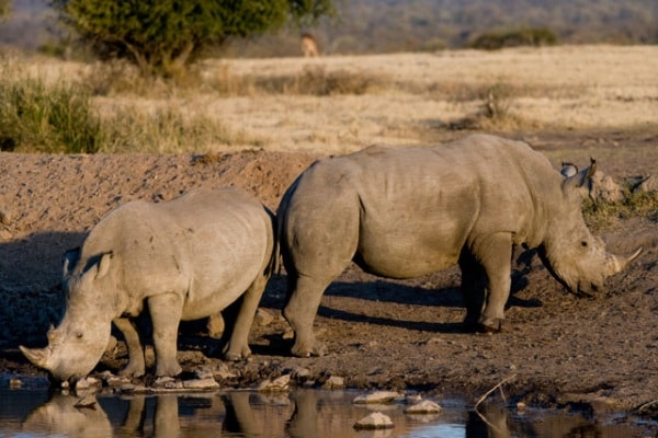 Alla scoperta del rinoceronte bianco. Un bestione da proteggere!