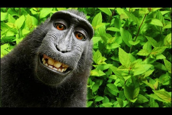 Il caso delle scimmia selfie: chi ha ragione?