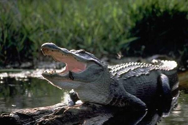 Una domanda insidiosa: i coccodrilli salgono sugli alberi?