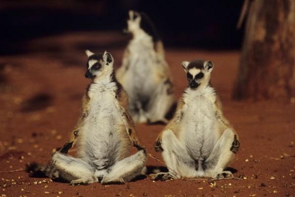 Curiosità animali: tutto sui lemuri | Focus Wild