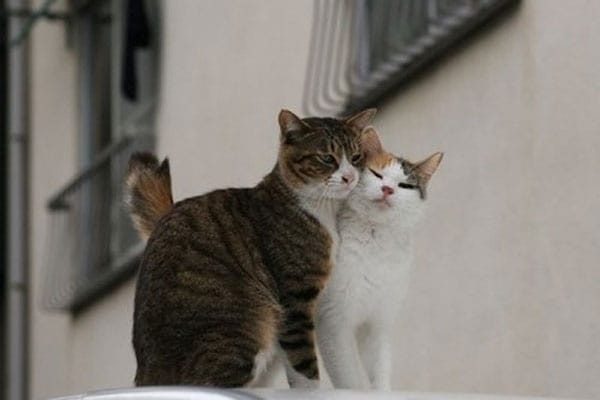 Curiosità animali: gatti che si fanno le coccole | Focus Wild