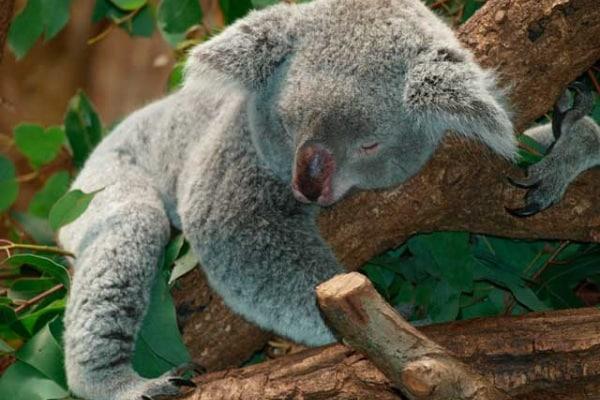 Perché gli animali che dormono sugli alberi non cadono?
