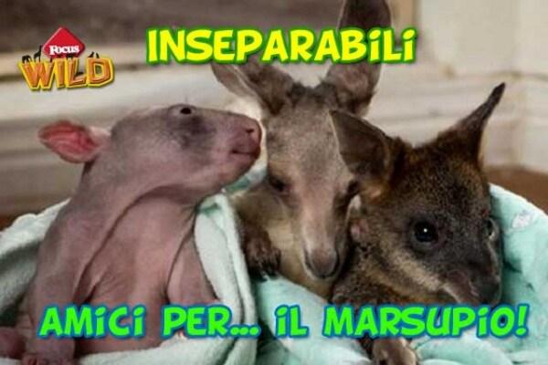 Un vombato, un canguro e un wallaby, amici inseparabili