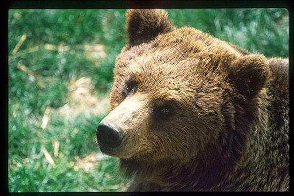 L'orsa Daniza non c'è più