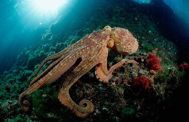 Creature del mare: il polpo