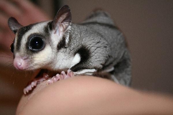 Petauro dello zucchero | Il simpaticissimo marsupiale volante