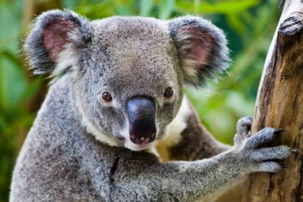 Koala: fatti e curiosità!