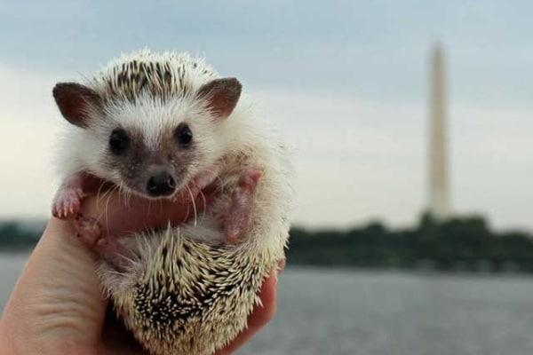 Calico, Il riccio in giro per gli USA diventa star del web