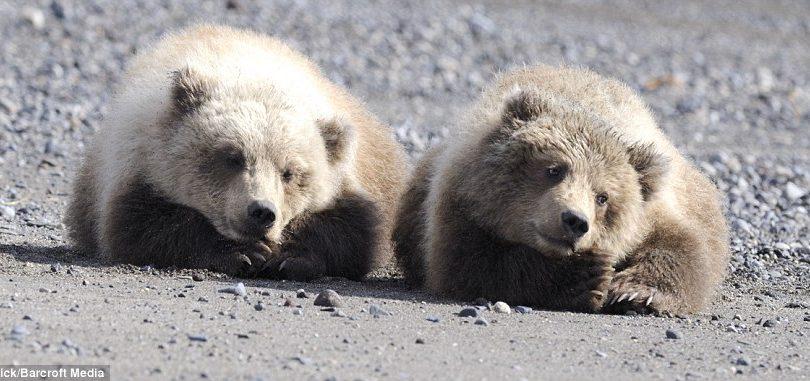 Due cuccioli di orso inseparabili. Guardate che belli!