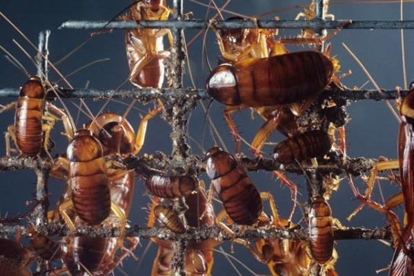 La blatta (o scarafaggio)