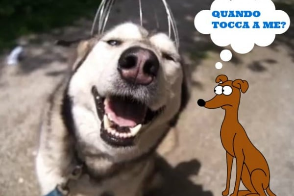 Come far rilassare un Husky? Video!
