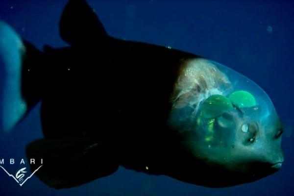 Macropinna | Lo strabiliante pesce… di vetro!