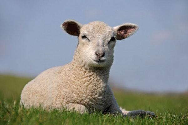 La pacifica pecora