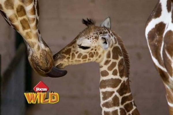 Curiosità animali | Mamma giraffa e il suo cucciolo