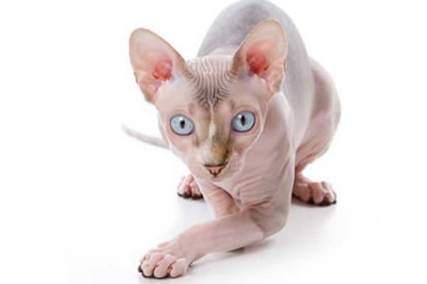 Ecco a voi Sphynx, il gatto senza pelo!