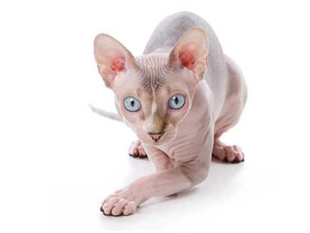Ecco A Voi Sphynx Il Gatto Senza Pelo Focus Junior