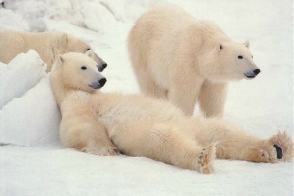 Tutto quello che (forse) non sai sull'Orso Polare!