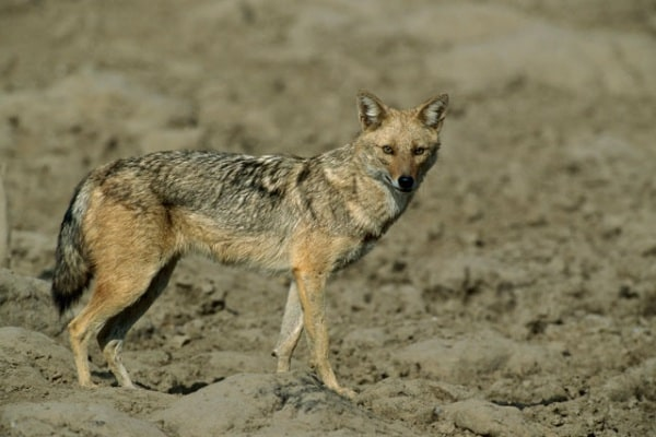 Animali della savana: lo sciacallo dorato