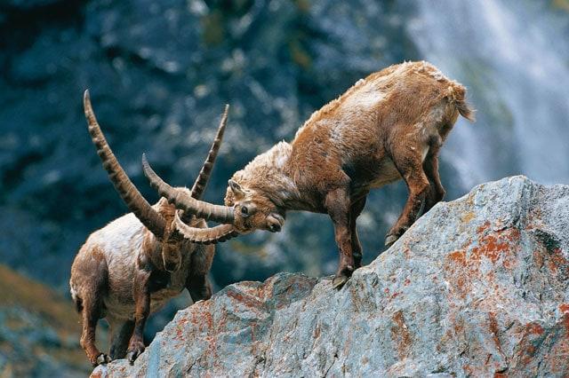 Animali d'altitudine: Lo stambecco delle Alpi