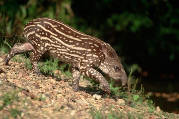 Il tapiro del Sudamerica, un animale davvero curioso!