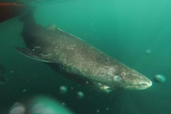 """Mostri di longevità: scoperti gli squali """"immortali"""""""