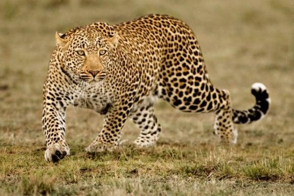 All'inseguimento del magnifico leopardo!