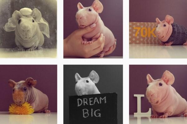 Ludvik, il porcellino d'India che fa impazzire Instagram (FOTO)