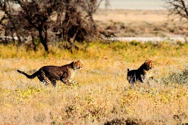 Ghepardi | Ne rimangono poche migliaia