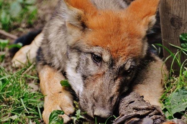 La storia di Achille, il lupo zoppo che non viene abbandonato dal branco