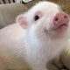 Pig Star, i maialini più famosi di Instagram! / Image 5