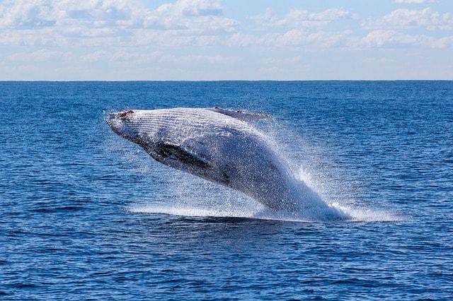 Perché le balene saltano fuori dall'acqua?