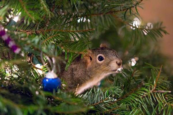 Storia dello scoiattolo salvato che ha vissuto nell'albero di Natale