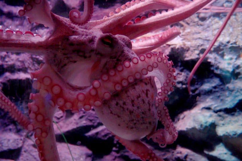 I polpi si possono impigliare nei propri tentacoli?