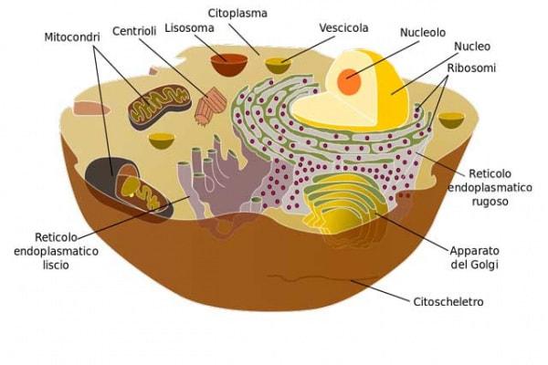 Cellule | Una ricerca sui mattoncini del corpo umano!