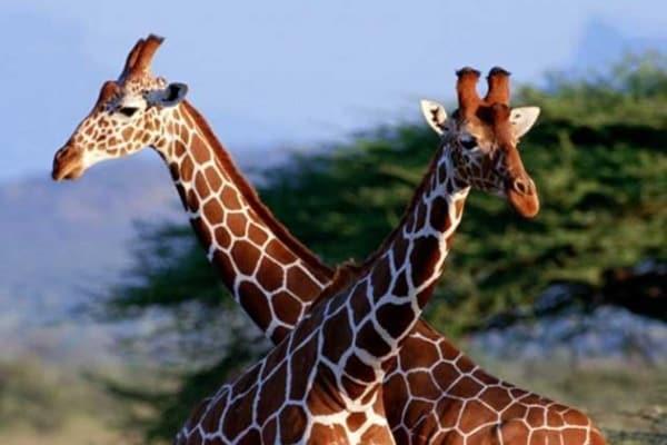 Quante vertebre ha il collo di una giraffa?E che verso fa la giraffa?