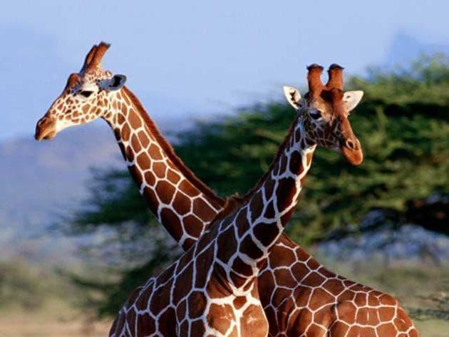 La giraffa, il collo più famoso del regno animale!