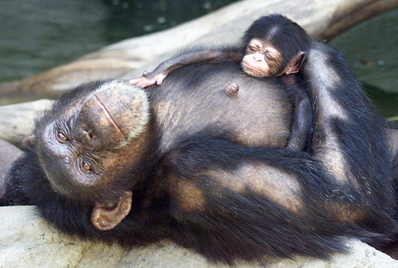 L'orfanotrofio degli Scimpanzé