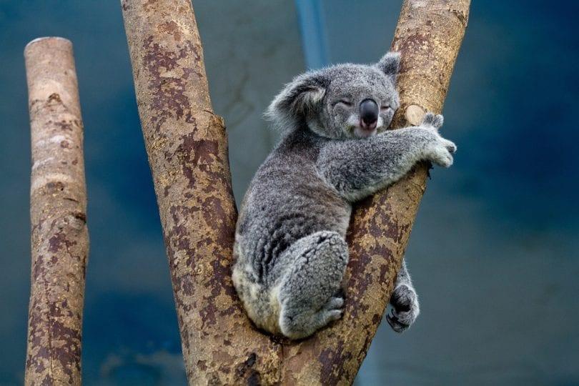 Lo sapevi che | Perché i koala abbracciano gli alberi?