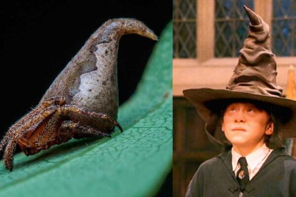 Il ragno che assomiglia al cappello di Harry Potter