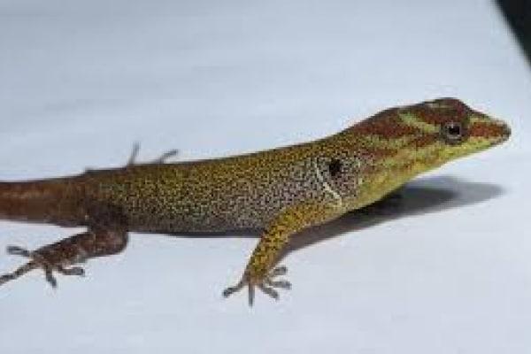 Le origini delle zampette adesive del geco
