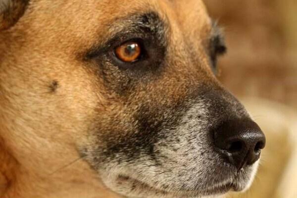Il tuo cane è agitato? Potrebbe incanutire prima del tempo!