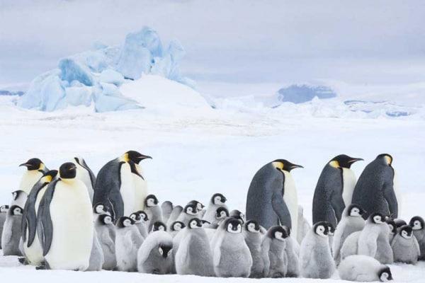 La marcia dei pinguini | Il richiamo Gallery