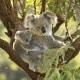 Il Koala, il simpatico dormiglione australiano! / Image 5