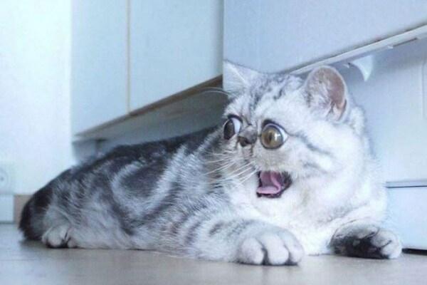 Herman, il gatto fifone, spopola sui social! (FOTO)
