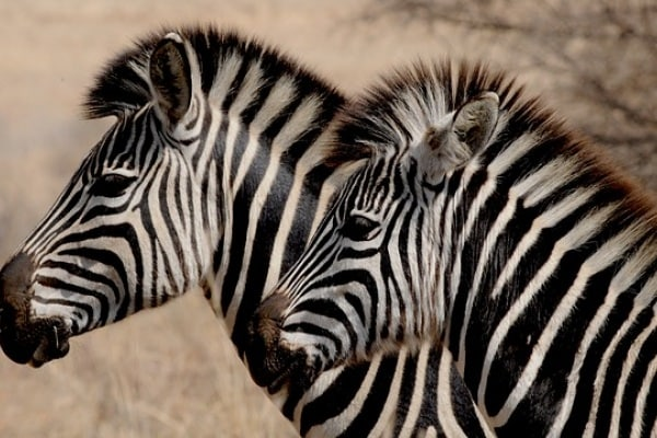 Perché le zebre non possono essere addomesticate?