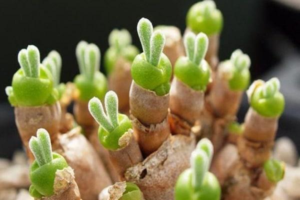 Monilaria, la pianta grassa carina come un coniglietto