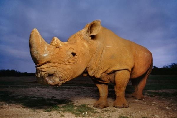 Rinoceronte bianco | Gallery