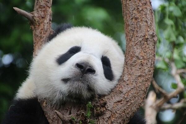 Buone notizie: il panda non è più a rischio d'estinzione